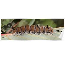 Fingered Dagger Moth Caterpillar Poster