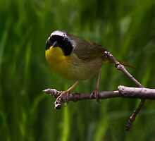 Common Yellow Throat Warbler 6 by John Absher