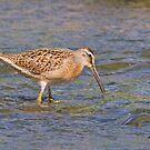Short-billed Dowitcher by DigitallyStill