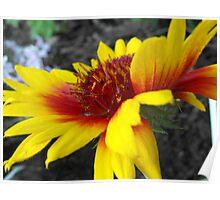 Gaillardia Grandiflora Poster