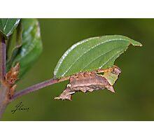 Unicorn moth caterpillar Photographic Print