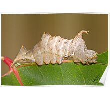 The Red-washed Prominent Moth Caterpillar or Rusty Prominent  Poster