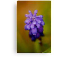 Grape Hyacinth II Canvas Print