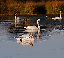 Swans,  at Margrove Park,  NYM  National Park by dougie1