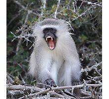 Monkey Business- Vervet Monkey Photographic Print