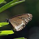 Butterfly in the garden by AravindTeki