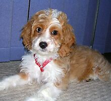 Tiny Spoodle by welovethedogs