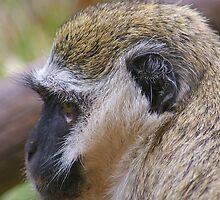 Vervet Monkey by Mark Maloney