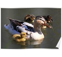 Duck with Ducklings Poster
