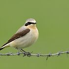 Northern Wheatear - I by Peter Wiggerman