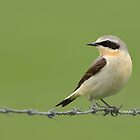 Northern Wheatear - II by Peter Wiggerman