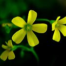 Pretty Yellows by Eileen Brymer