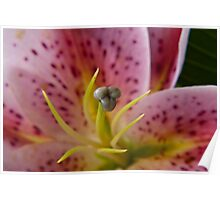 Scented lily Poster