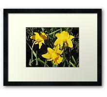 Daffodils Dreaming Framed Print