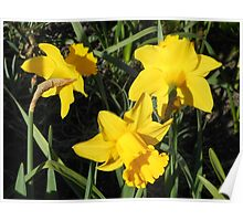 Daffodils Dreaming Poster
