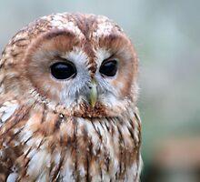 Tawny Owl by Stefanie Köppler