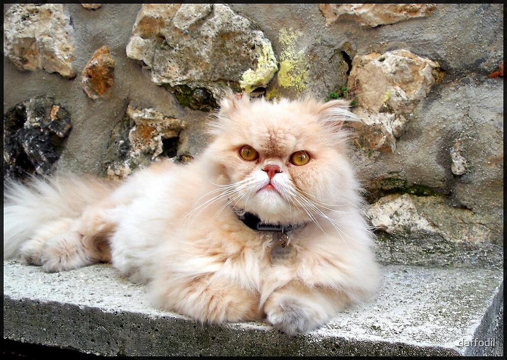 Sweet Persian cat by daffodil