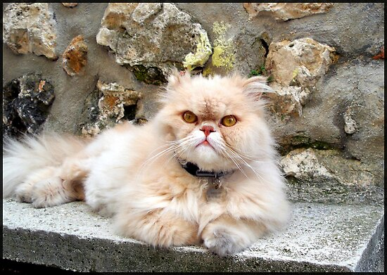 Sweet Persian cat by daffodil