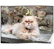 Sweet Persian cat Poster
