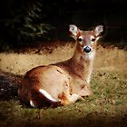 Doe Resting by Bine