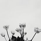 Black & White Tulips by Hilary Walker
