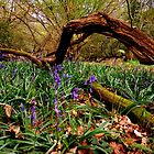 Early Bluebells by mikebov