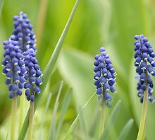 Grape Hyacinth by Ryan Houston