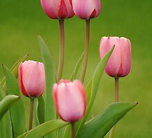 Pink Tulips by Ryan Houston