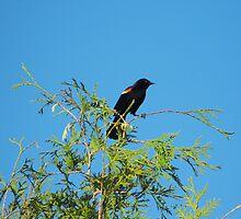 Redwing Blackbird  by katpix