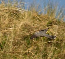 Cuckoo in flight by Jon Lees