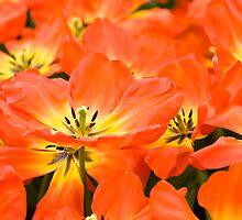 Tulips by Mirka Rueda Rodriguez