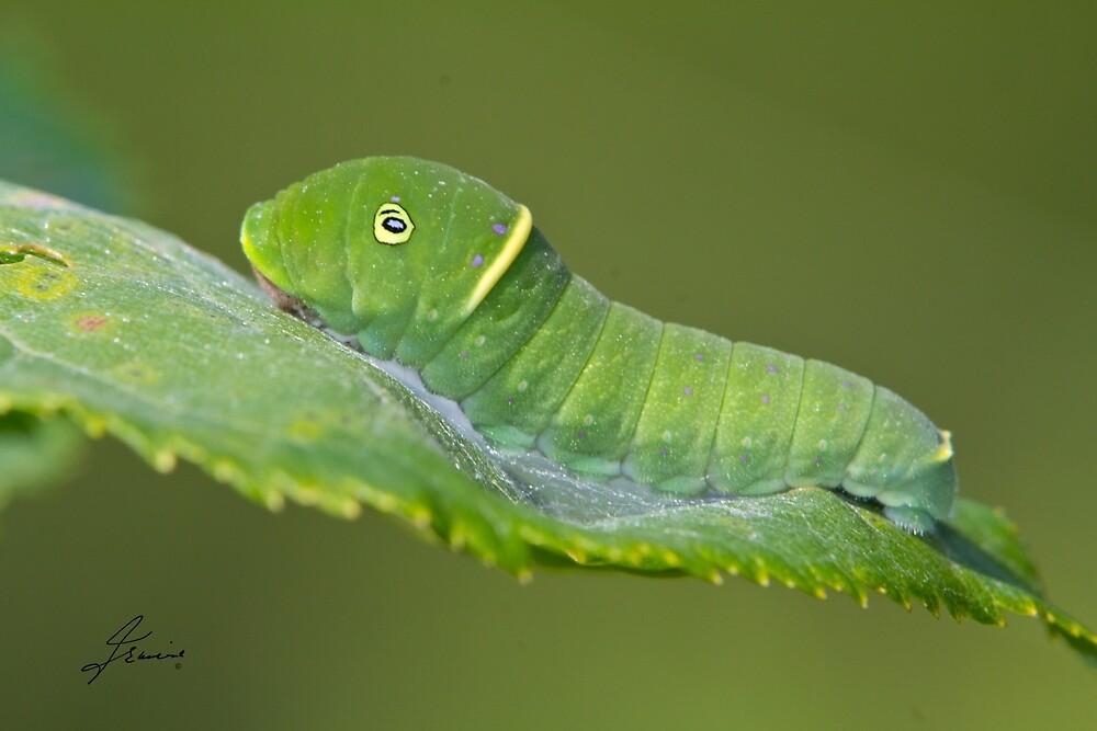 Canadian Tiger Swallowtail Caterpillar by DigitallyStill