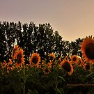Sunflower field II by PJS15204
