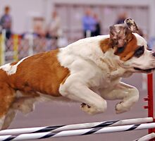 Super St Bernard Dog