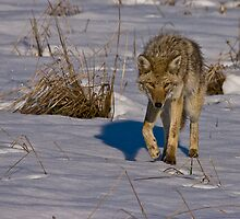 Curious Coyote by Jay Ryser
