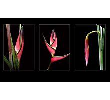 Heliconias Photographic Print