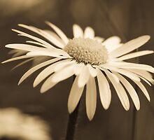 Sepia Daisy by Tony Allen