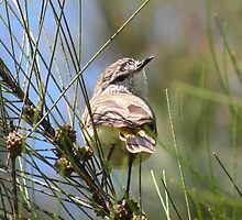 Yellow-rumped Thornbill by Trish Meyer