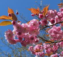 Spring Blossom by Laura Brown