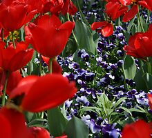 Red tulips & puple pansies by Leo Sapene