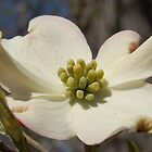 Dogwood by cpad04