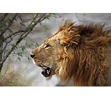 Profile Portrait, Large Male Lion, Maasai Mara, Kenya Photographic Print