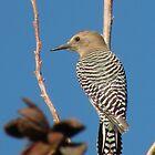 Gila Woodpecker by ChuckCheatham