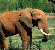 Elephant by cpad04