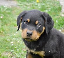 Special Rottweiler by welovethedogs