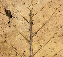 Dry Leave by AravindTeki