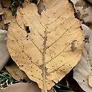 Dry Leave by AravindTeki