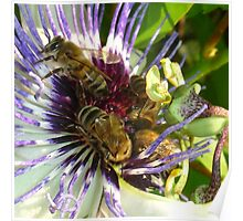 Passion Flower and Honey Bees Collecting Pollen Poster