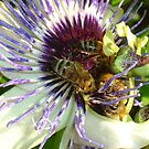Close Up Of  Passion Flower with Honey Bee by taiche
