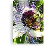 Close Up Of  Passion Flower with Honey Bee Canvas Print